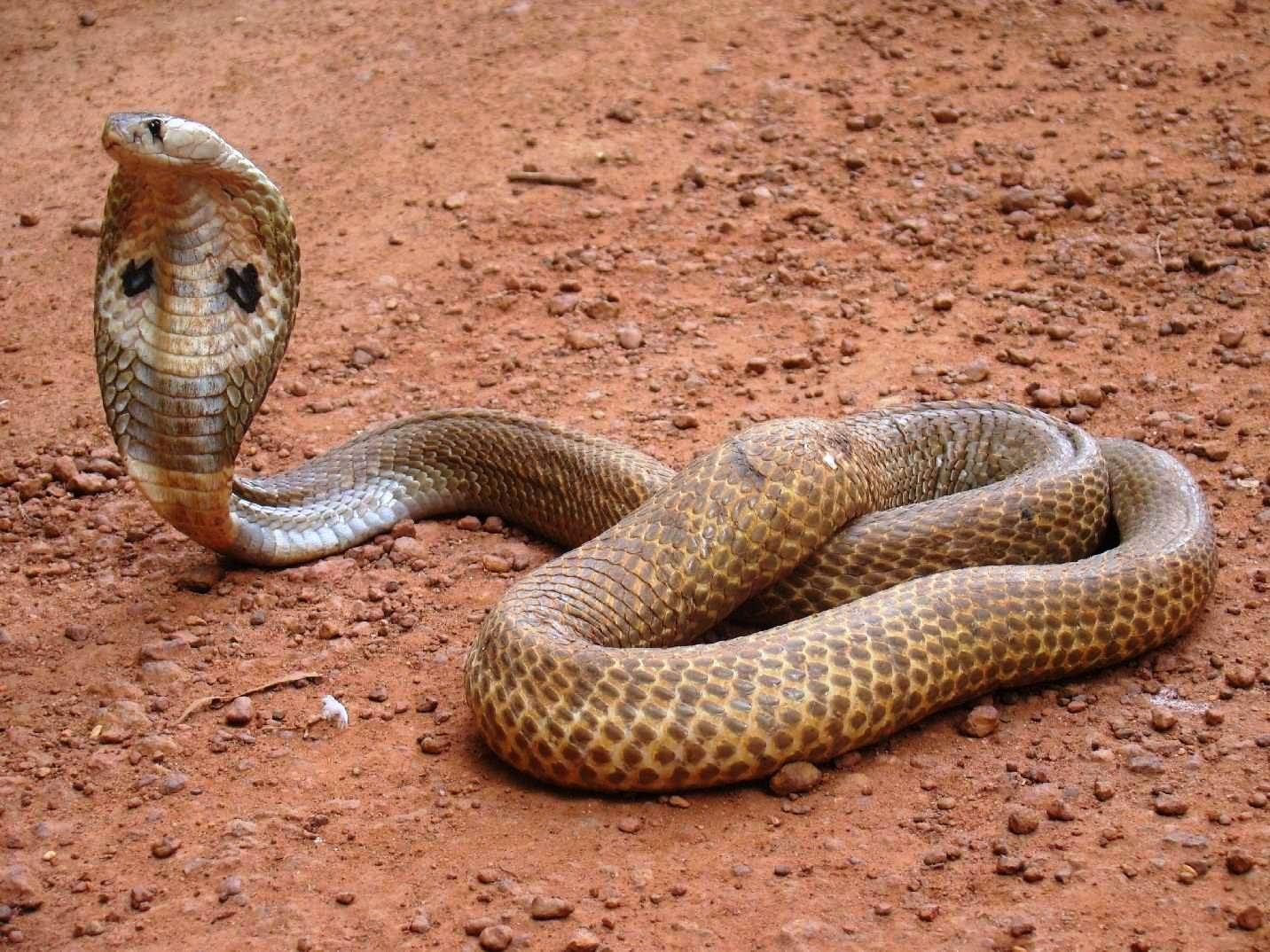 Spectacled Cobra Chennai